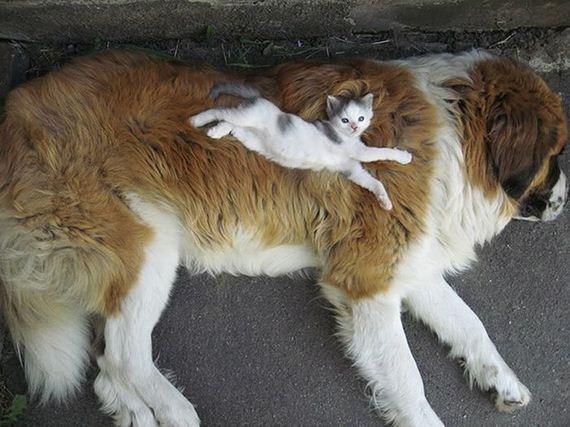 LInks little cat lying on huge dog