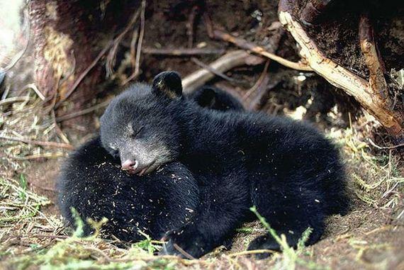 links sleeping baby bears