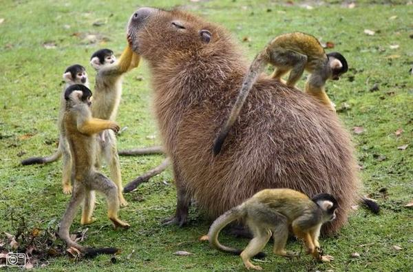 Monkeys Grooming A Capybara