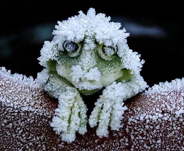 cold_tolerant_wood_frog
