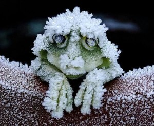 cold_tolerant_wood_frog_300