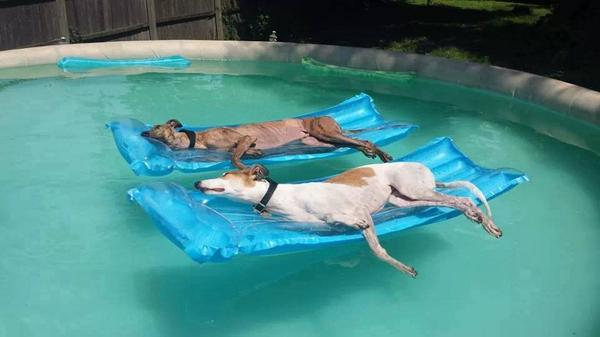 dogs_in_pool
