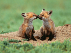 foxes_300