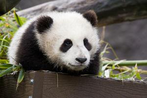 panda_300