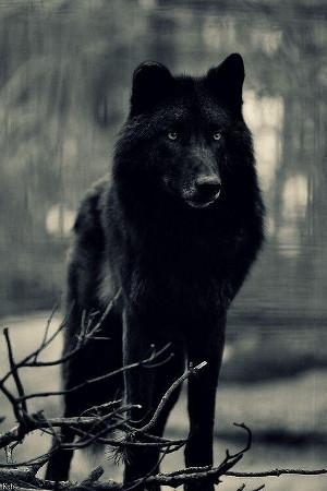 wolf_300