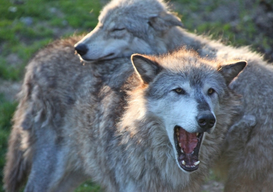 wolves_two