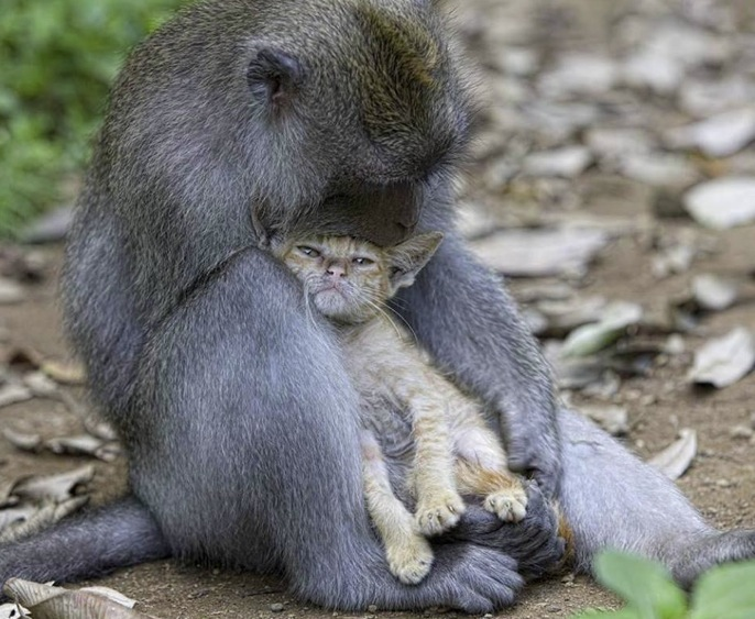 Links monkey hugs cat