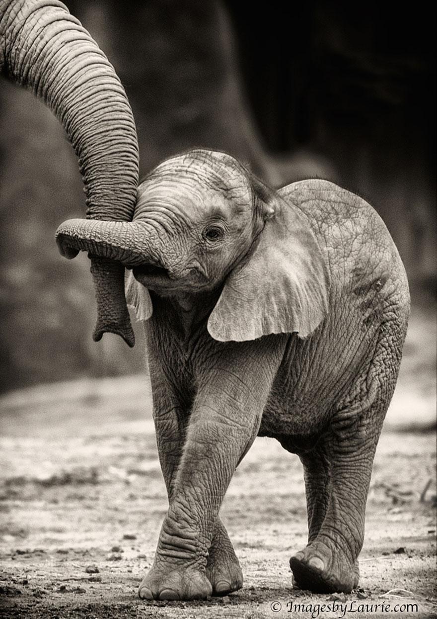 links baby elephant