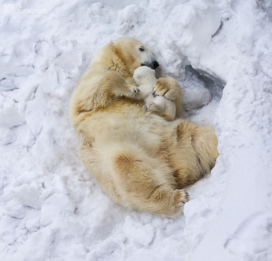 links polar bear mother snuggles baby