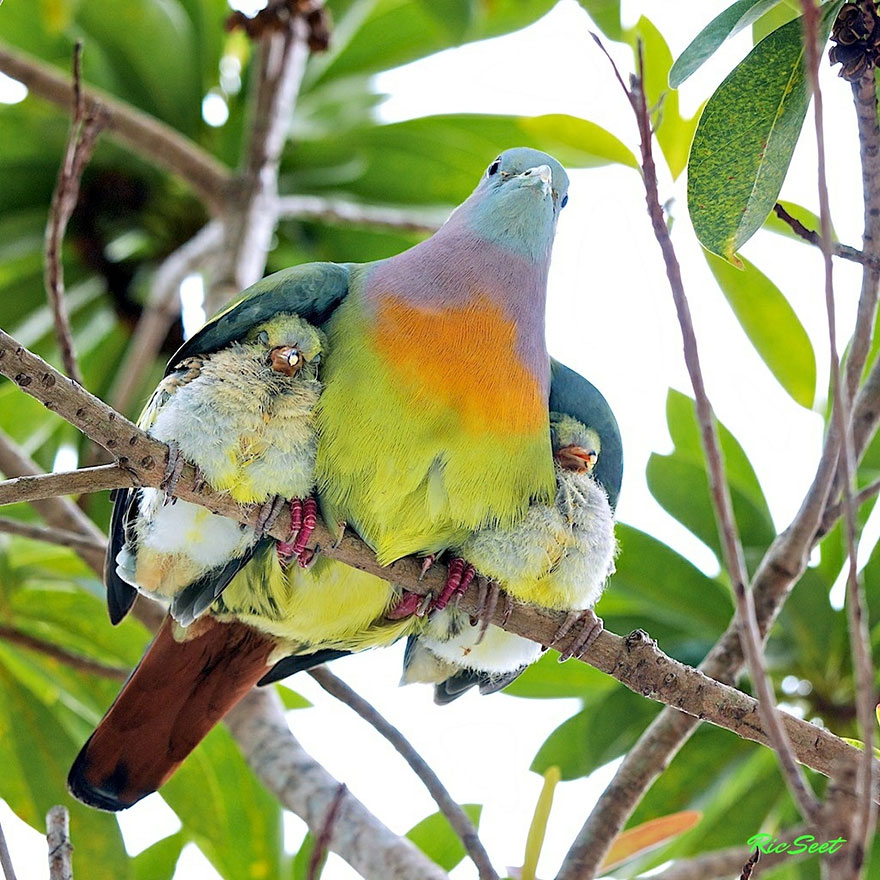 links pretty bird with babies under wings