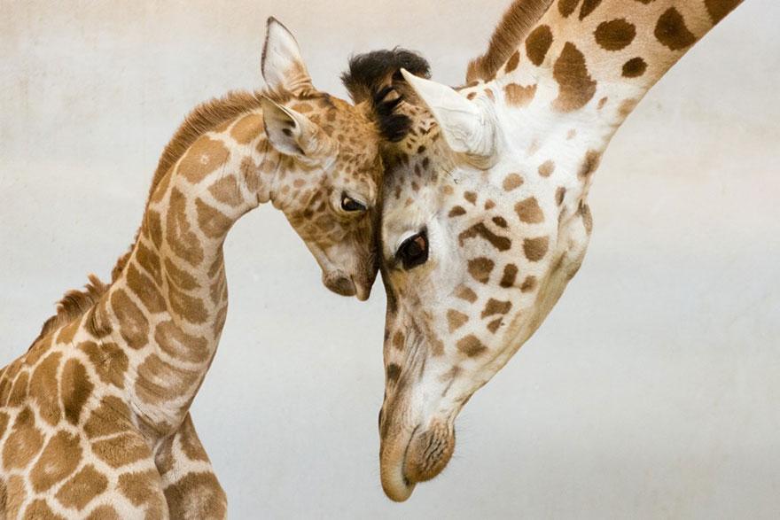 links giraffes