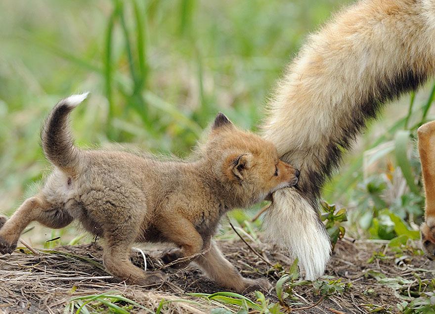 fox pup links