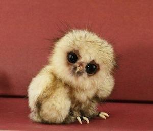 baby_owl_300