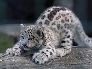 baby_snow_leopard_300