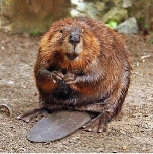 beaver_300