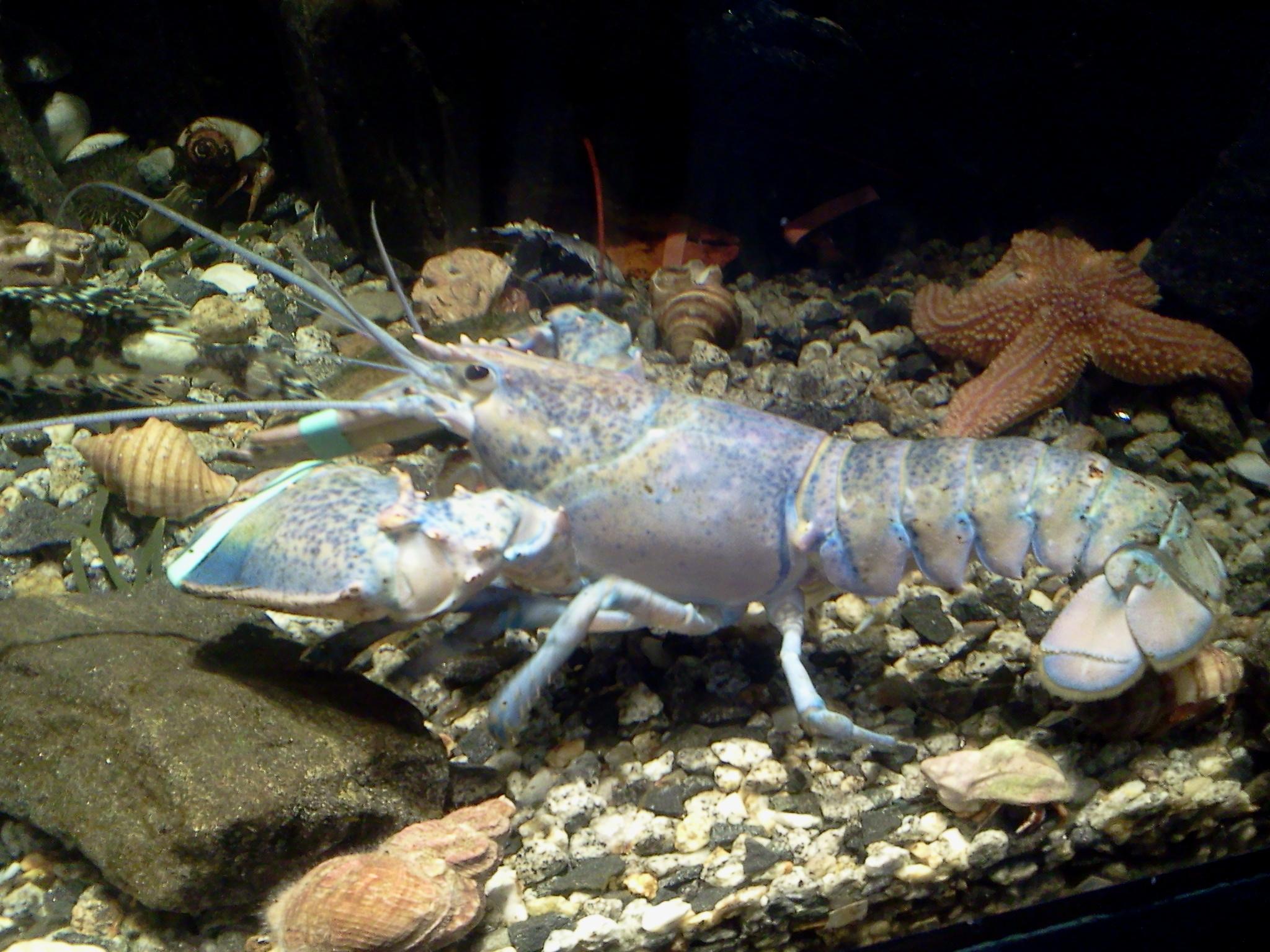 blue lobster links