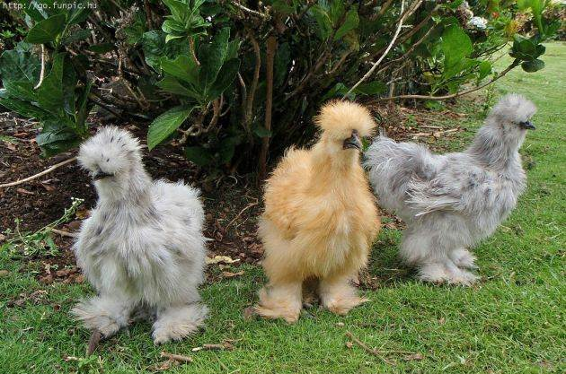 links fuzzy chickens