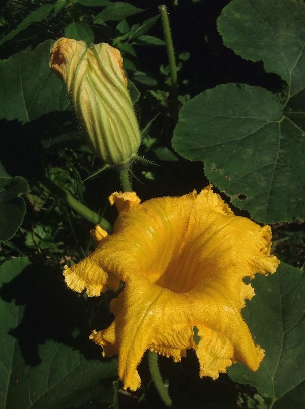 squash_flower