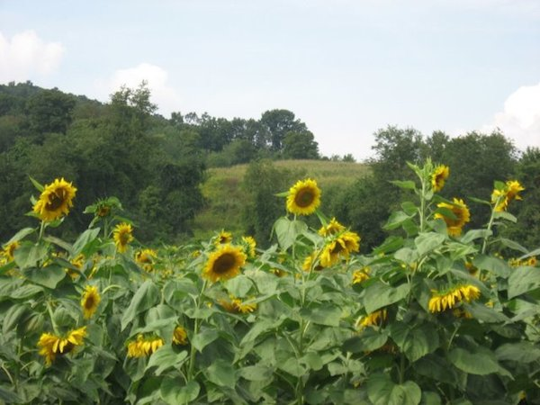 sun flowers in columbia county 003
