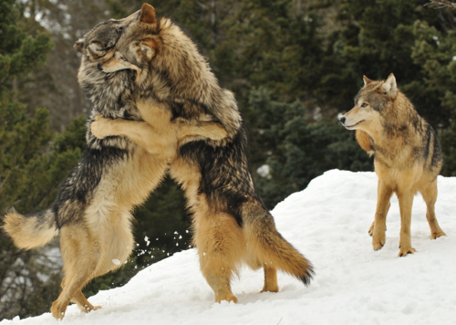 wolves_playing