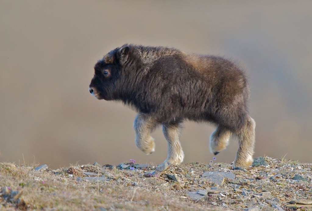 A baby Musk Ox just a few weeks old.