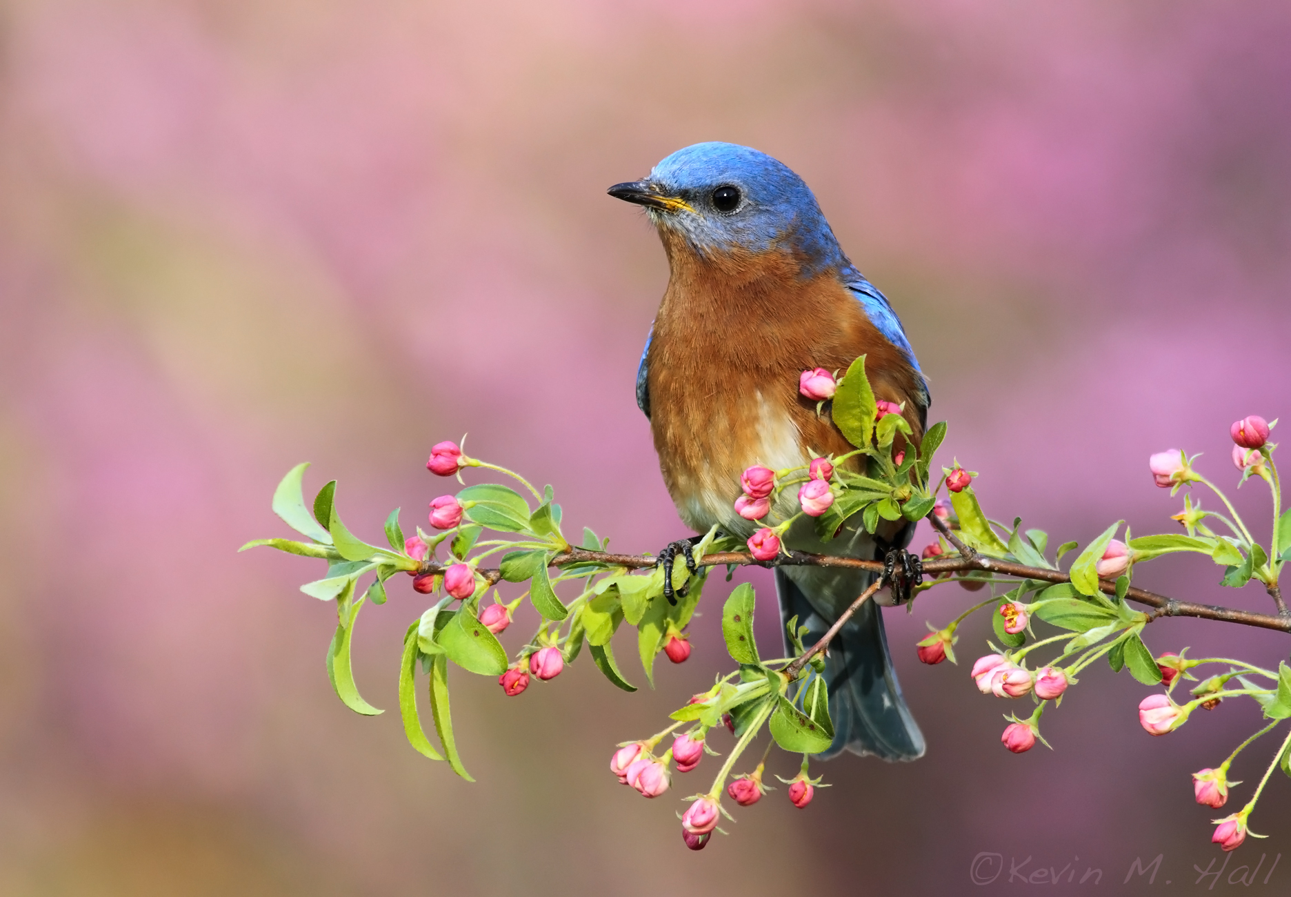 Eastern Bluebird IX