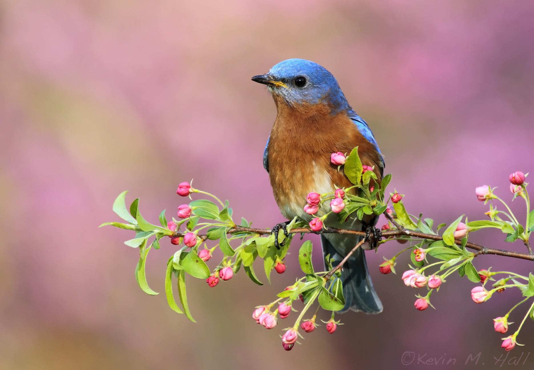Eastern Bluebird IX