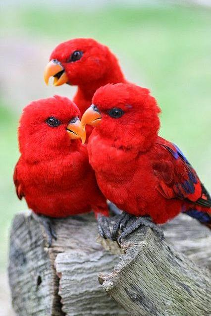 Red lories links