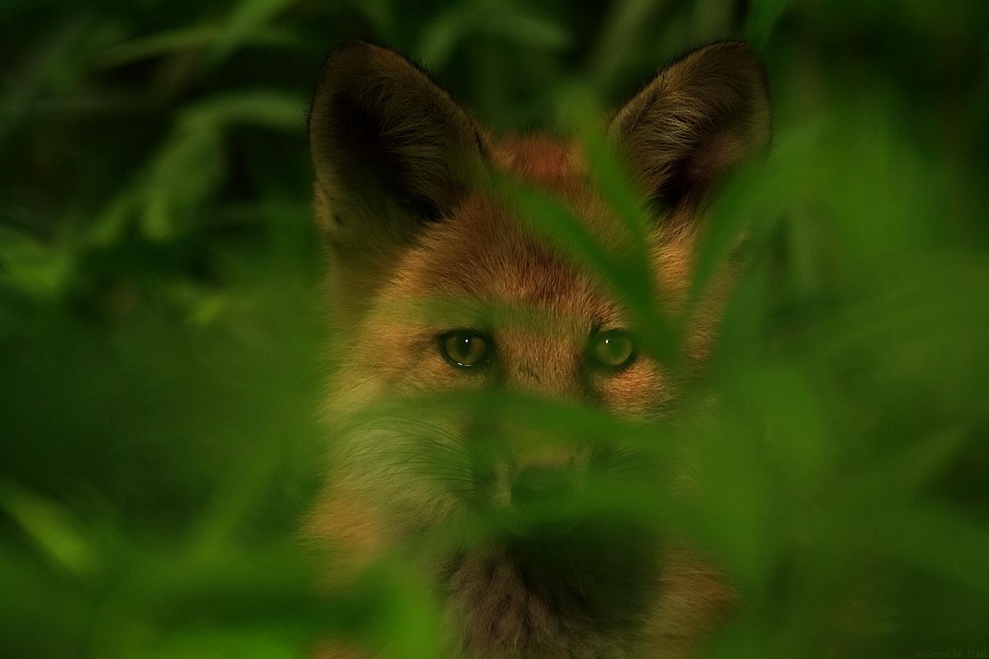 Red Fox Kit links