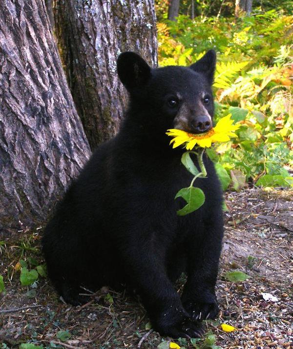 bear_sunflower