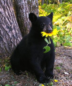 bear_sunflower_300