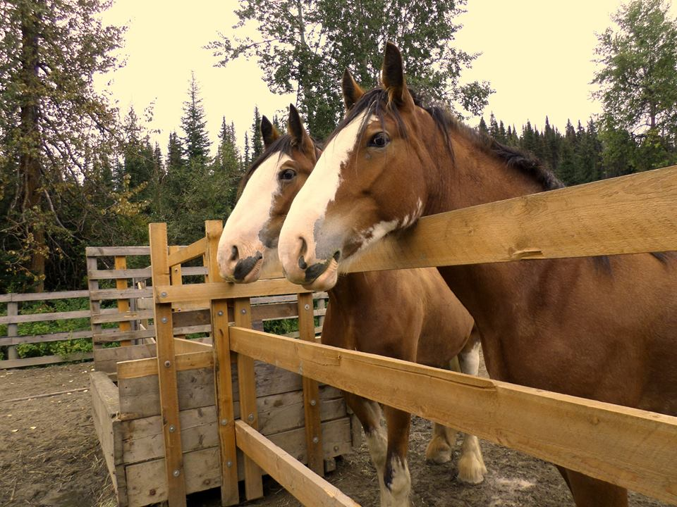 draft horses at Barkerville BC links