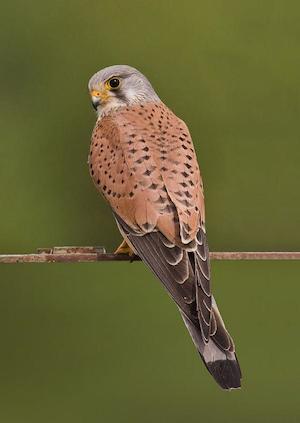 falcon_300