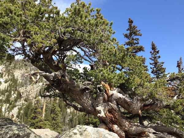 fir_tree