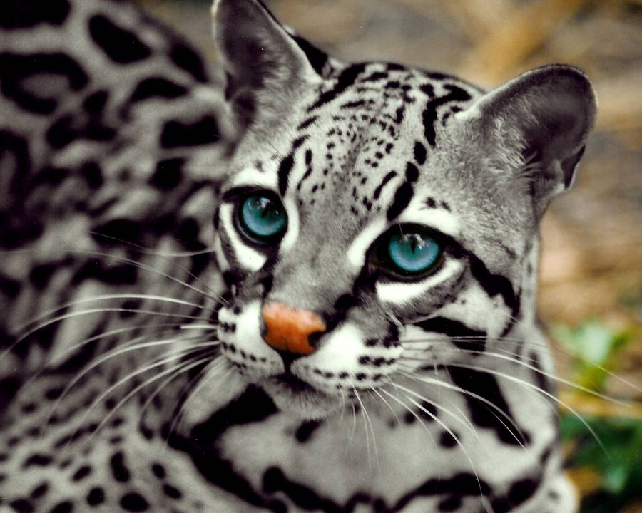 Blue eyed wild spotted cat