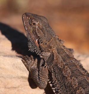 lizard_300