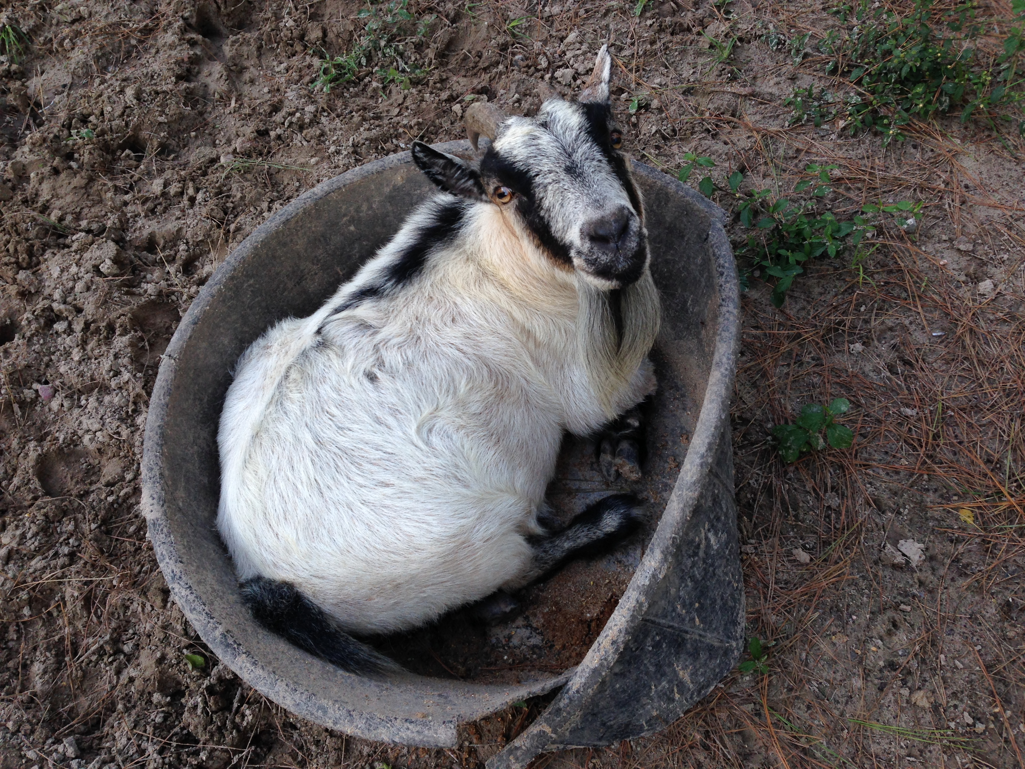 nesting goat links