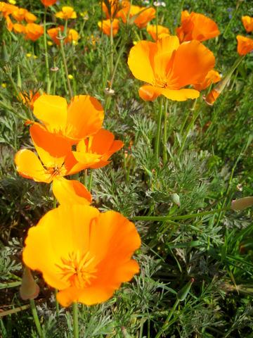 orange_poppies