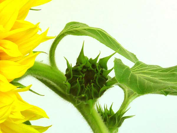 sunflower_bud