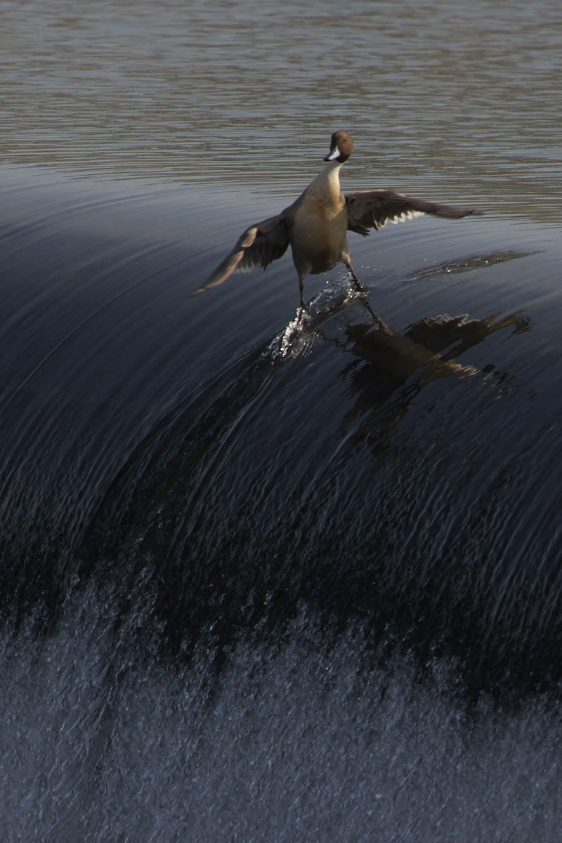 surfing duck links