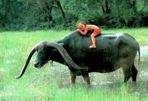 water buffalo links
