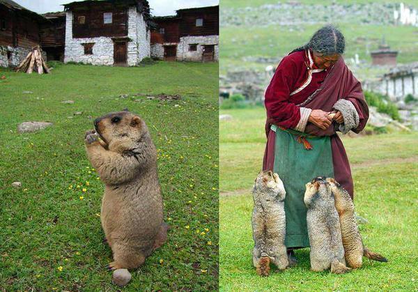 Himalayan marmot links