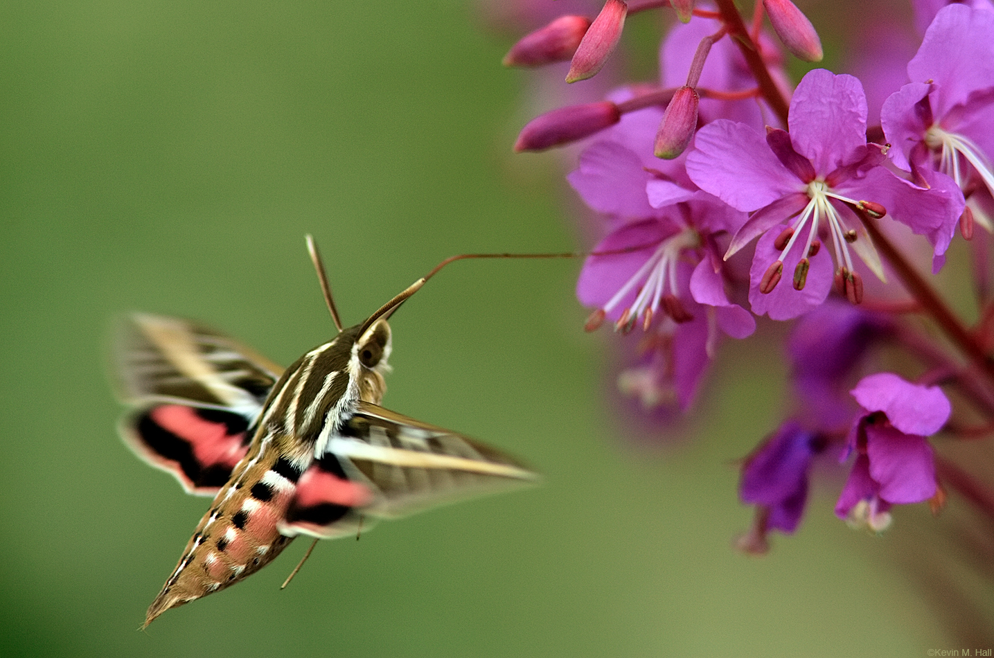 White Lined Sphinx at Fireweed
