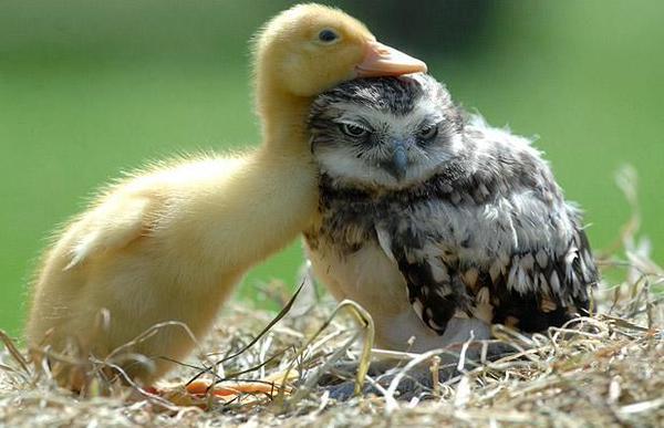 duck_owl