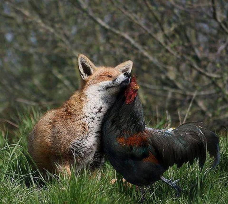 fox and chicken links