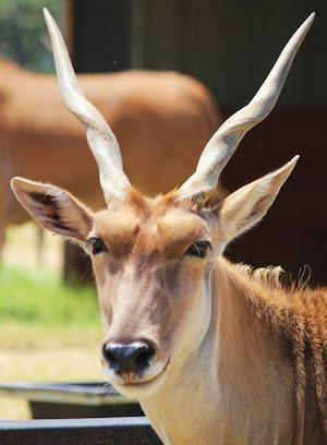 goat_300