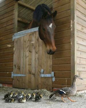 horse_duck-G_300