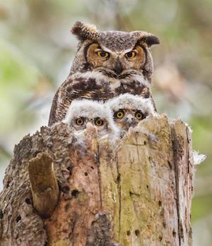 owls_300