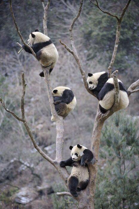 pandas in tree links
