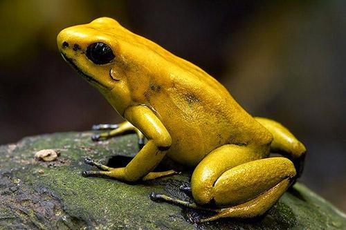 pretty yellow frog links